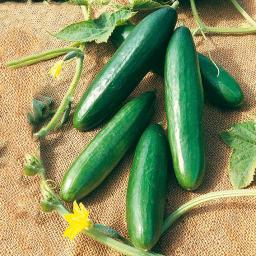 Gemüse-Pflanze Gurke La Diva, veredelt