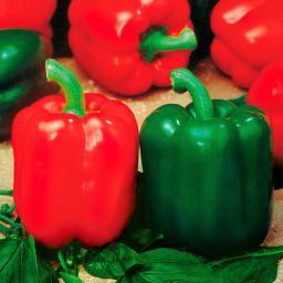 Gemüse-Pflanze Paprika Bendigo F1, veredelt