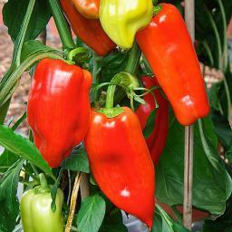 Paprikapflanze Agio F1, veredelt
