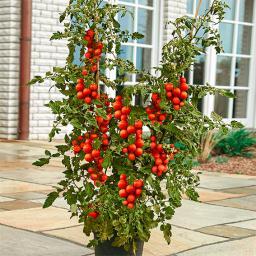 Gemüse-Pflanze Tomate Tomaccio