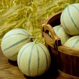 Zuckermelonenpflanze Stellio F1, veredelt, im ca. 10,5 cm-Topf