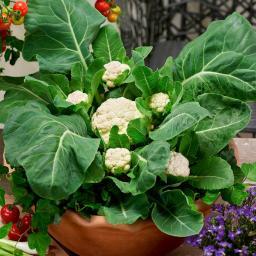 Gemüse-Pflanze Blumenkohl Multi-Head F1