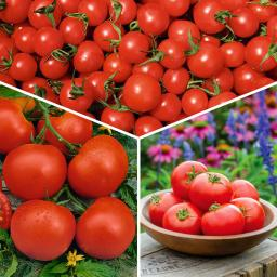 Gemüsepflanzen-Sortiment Gärtner Pötschkes Garten-Tomaten