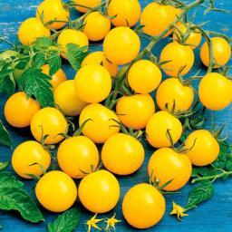 Tomatenpflanze Golden Pearl F1, veredelt, im ca. 10,5 cm-Topf