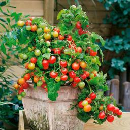 Gemüse-Pflanze Tomate Lizzano F1