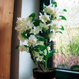 Baum-Orchidee