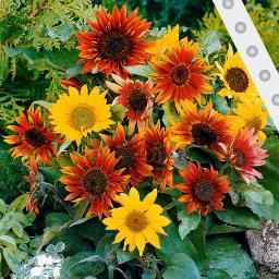 Saatband 6 m Sonnenblumen Paquito-Mischung