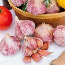 Pflanzknoblauch Germidour, rosa, französischer