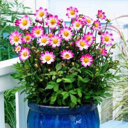 Dahlie Tiny Florart
