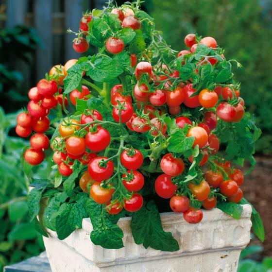 Tomatenpflanze Lizzano F1, im ca. 10,5 cm-Topf