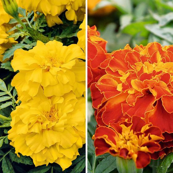 Blumensamen-Sortiment Zenith-Tagetes