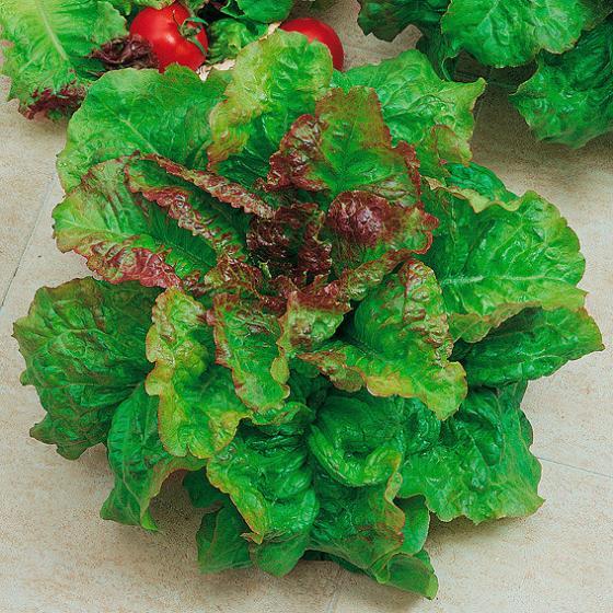 Salatsamen amerikanischer brauner Pflücksalat