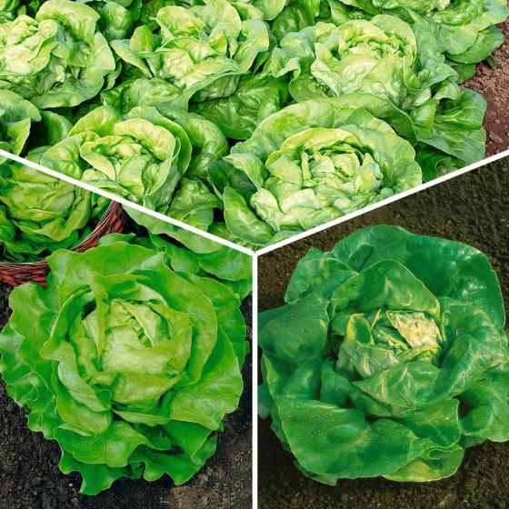 Gemüsesamen-Set Kopfsalate