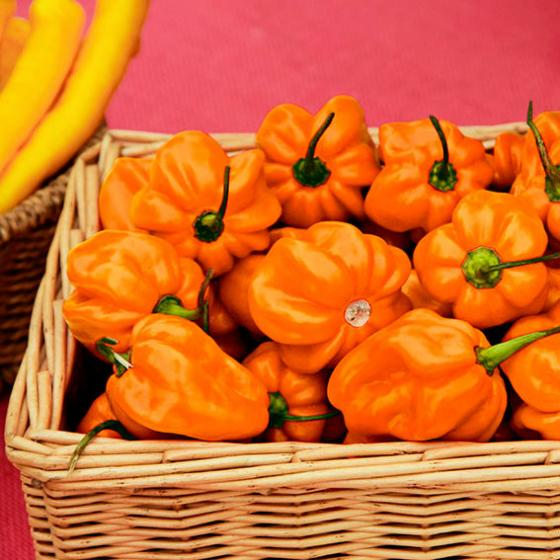 Mexikanische Habanero Chilisamen Calita Orange F1