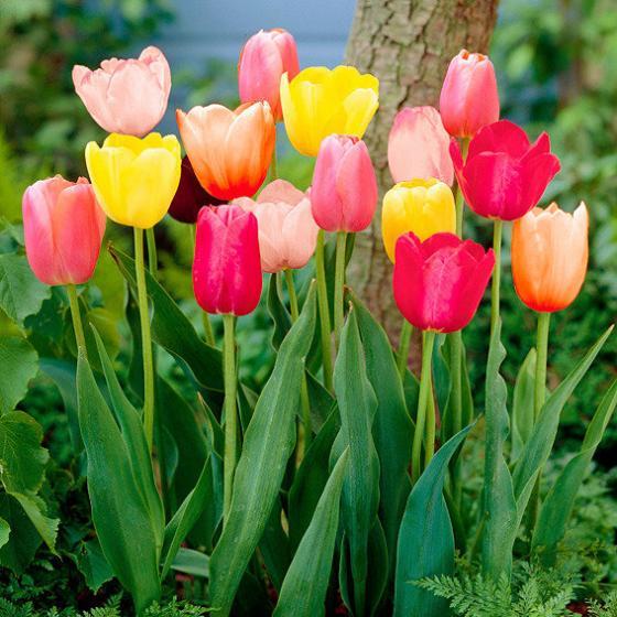 mischung g rtner p tschkes duft tulpen von g rtner p tschke. Black Bedroom Furniture Sets. Home Design Ideas