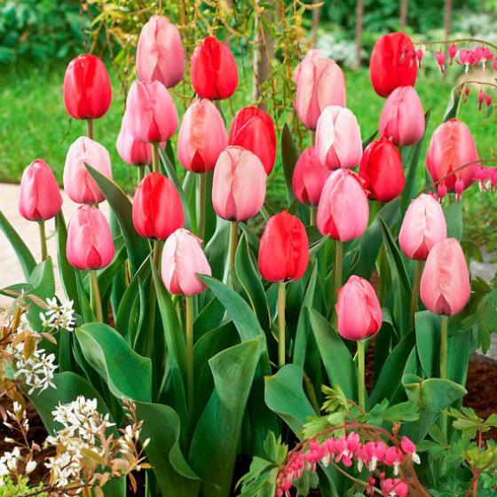 Tulpen-Impression-Mischung