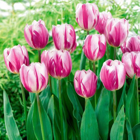Tulpe Flaming Flag, XXL-Pack.
