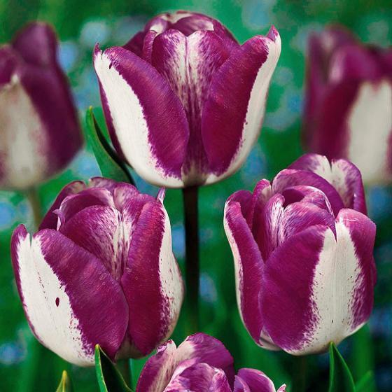 Tulpe Hotpants