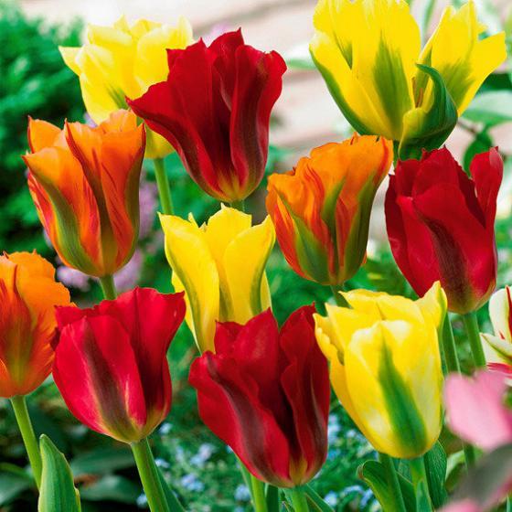 Mischung Viridiflora-Tulpen