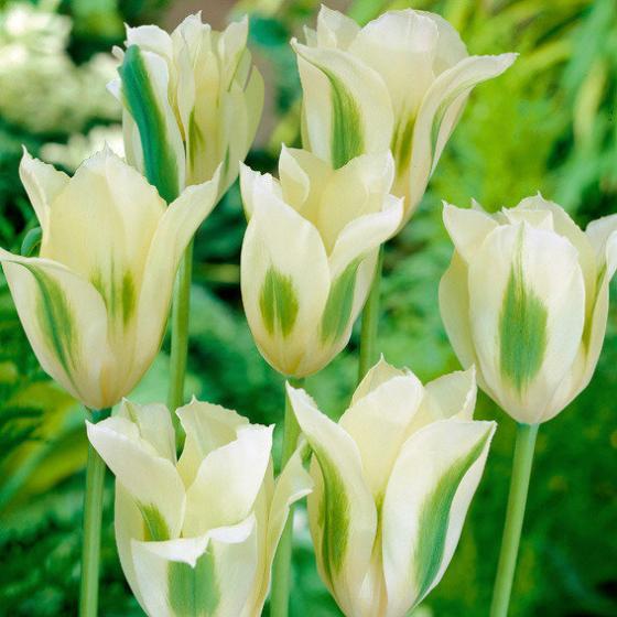 Tulpe Spring Green