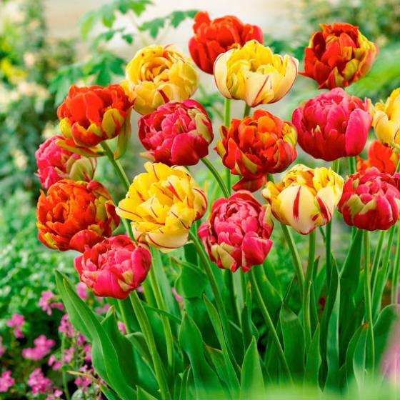 Gärtner Pötschkes Tulpen-Unique-Mischung, gefüllt