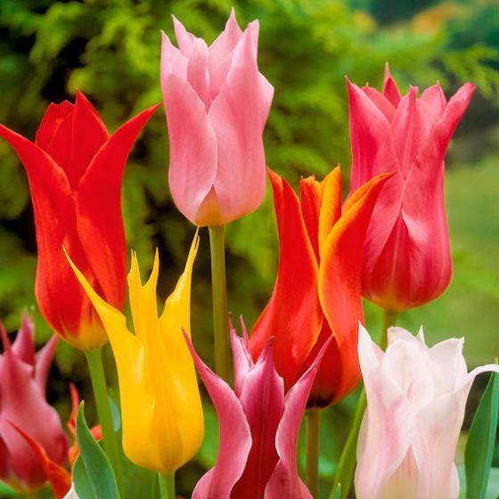 Mischung Lilienblütige Tulpen