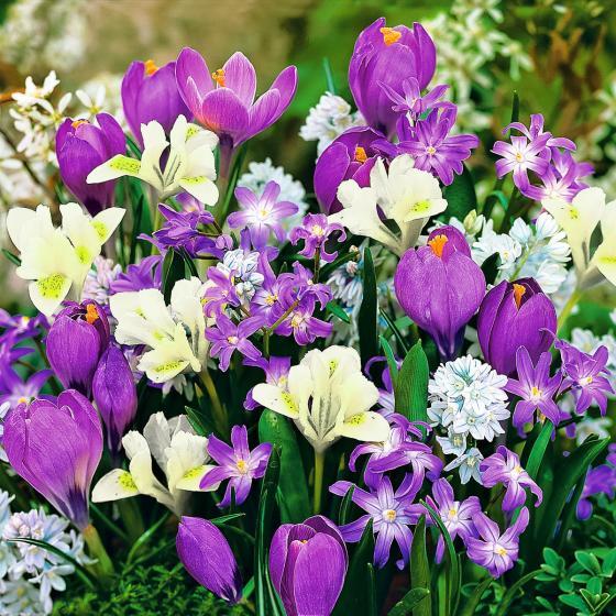 Blumenzwiebel-Set Bunte Frühlingszwerge