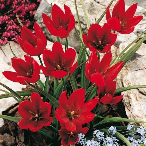 Tulpe Hageri