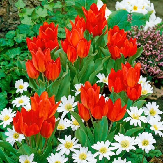 Tulpe Praestans Zwanenburg