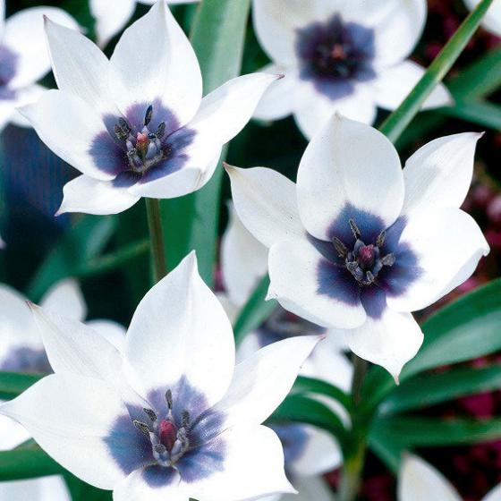 Tulpe Alba Coerulea Oculata