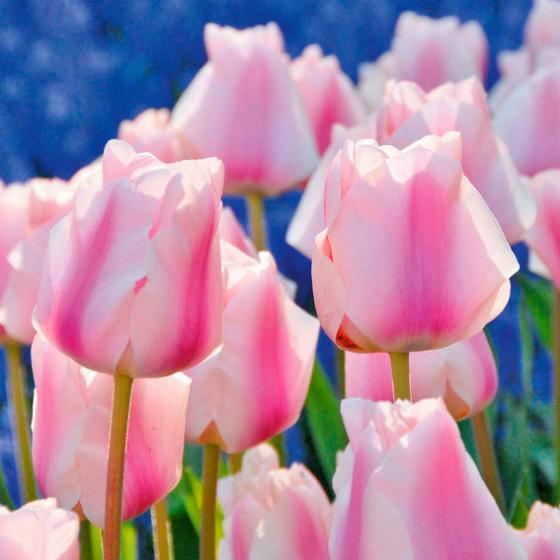 Tulpe Maria Christina