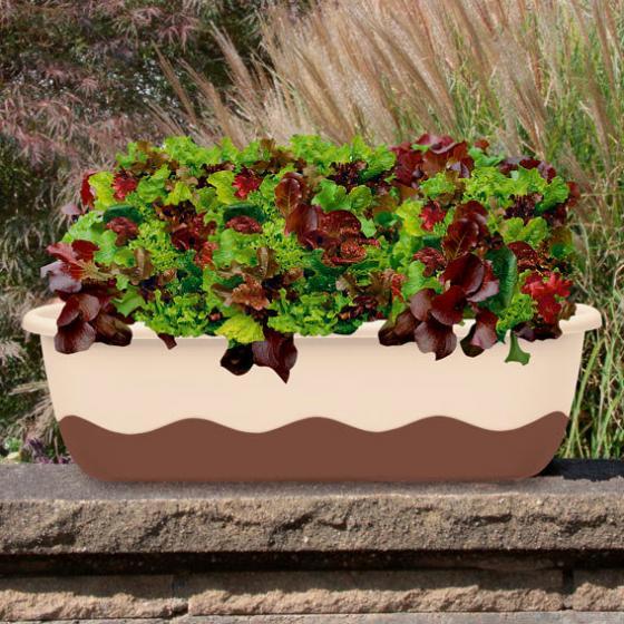 Saatplatte 38 x 17 cm Pikanter Babyleaf Salat Mix