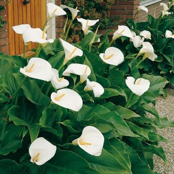 Calla Crowsborough