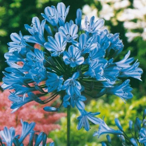 schmucklilie afrikanische lilie blau von g rtner p tschke