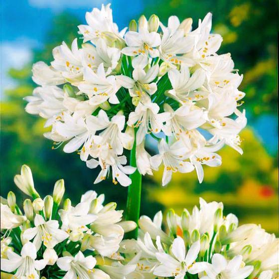 Schmucklilie, Afrikanische Lilie, weiß