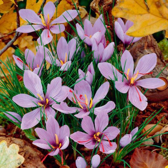 Safrankrokus, herbstblühend