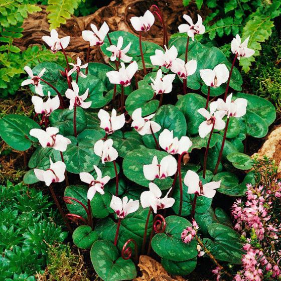 Weißes Vorfrühlings-Alpenveilchen