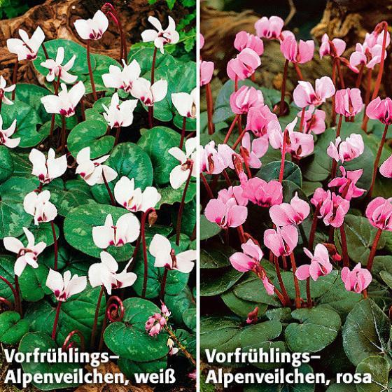 Sortiment Vorfrühlings-Alpenveilchen, 2 x 3 Stück