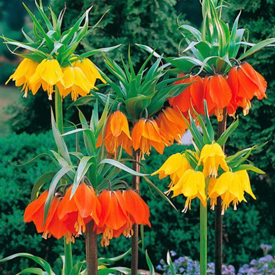 Blumenzwiebel-Sortiment Kaiserkronen
