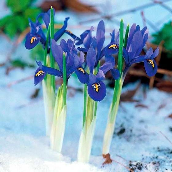 Zwerg-Iris Harmony