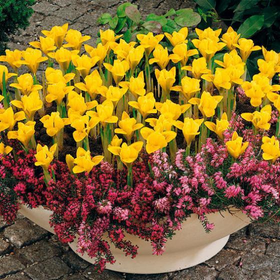 Vorfrühlings-Iris