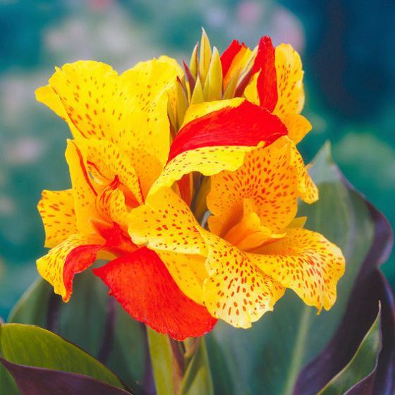 Canna Cleopatra (Indisches Blumenrohr)