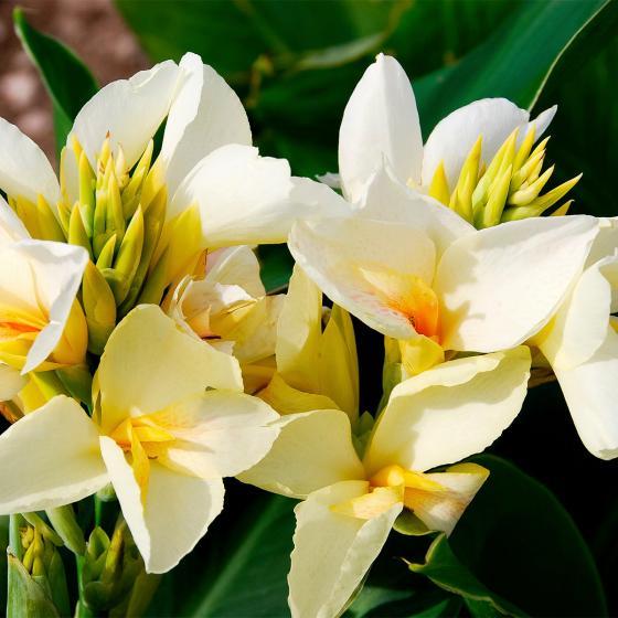 Canna Niagara (Indisches Blumenrohr)