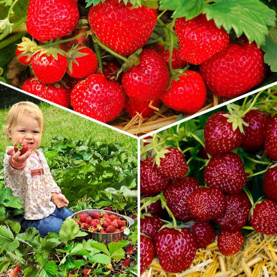 Erdbeerpflanzen-Sortiment Gärtner Pötschkes Auslese, getopft