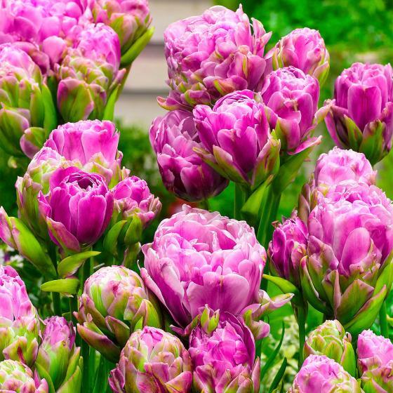 Tulpe Violet Pranaa