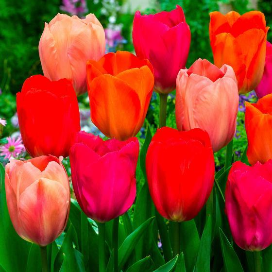 Darwin-Hybrid-Tulpen Van Eijk-Mischung
