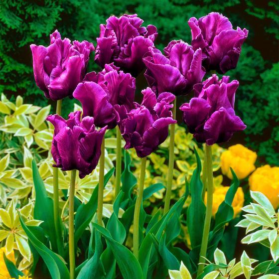 Tulpe Victorias Secret