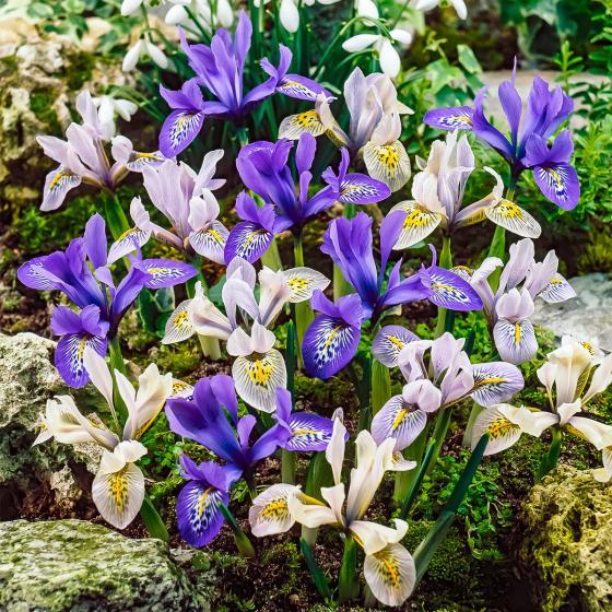 Regenbogen-Iris-Mischung