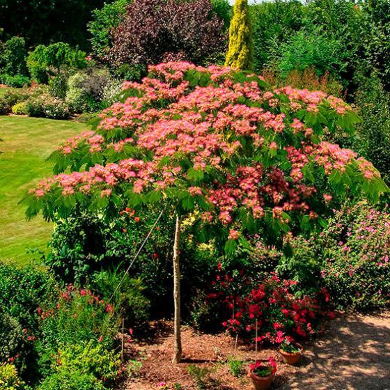 Seidenbaum Ombrella, im ca. 19 cm-Topf