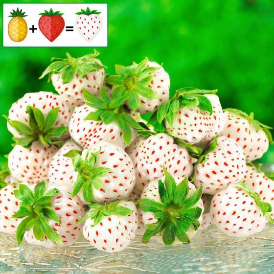 Erdbeerpflanze Ananas-Erdbeere Pineberry XL Snow White, getopft